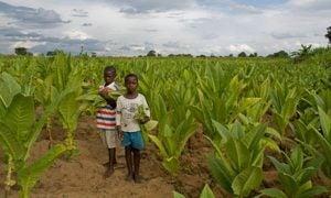 Children in a tobacco farm in Malawi